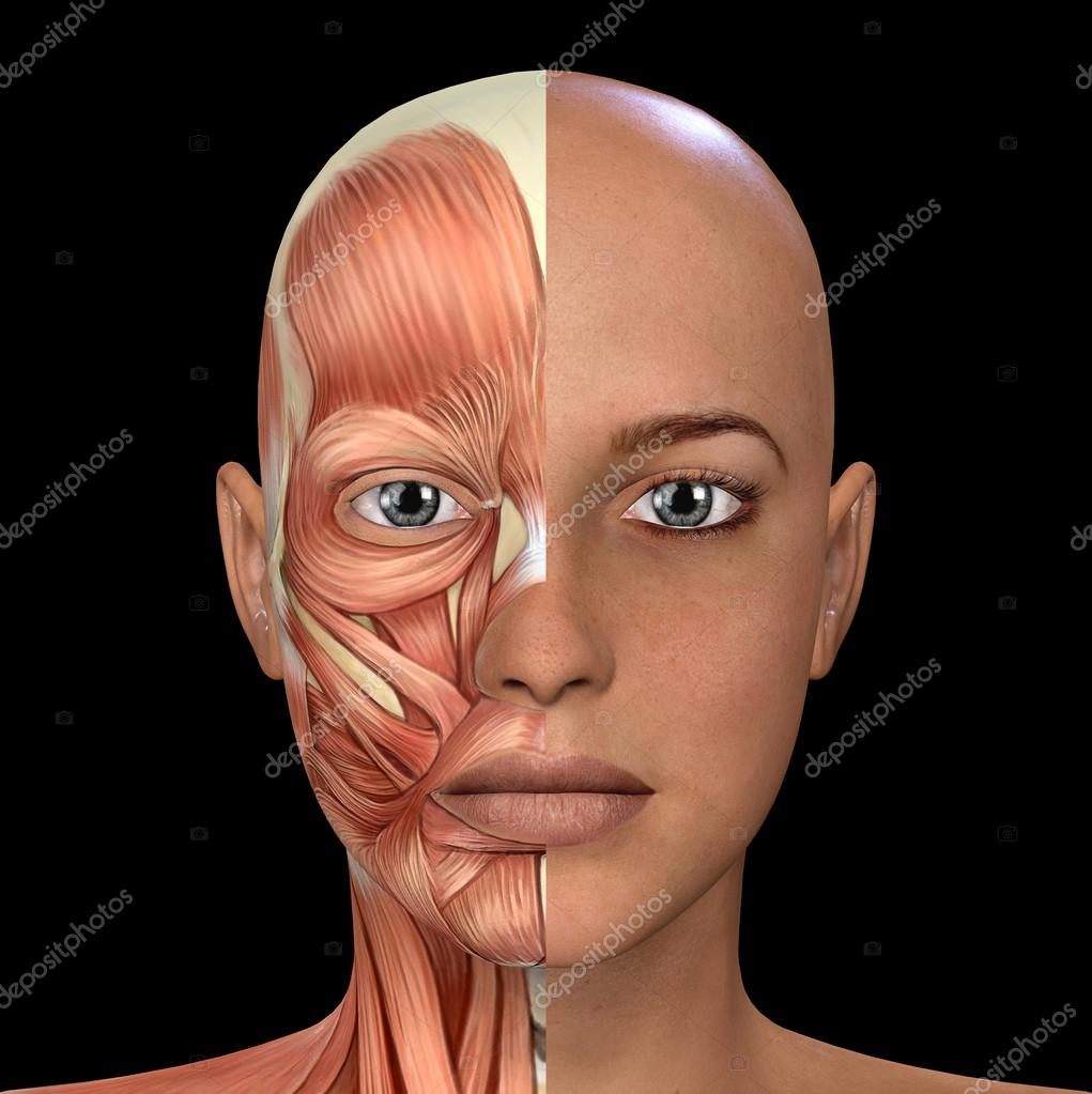 Female Face Muscles Anatomy — Stock Photo © illustrart #104451378