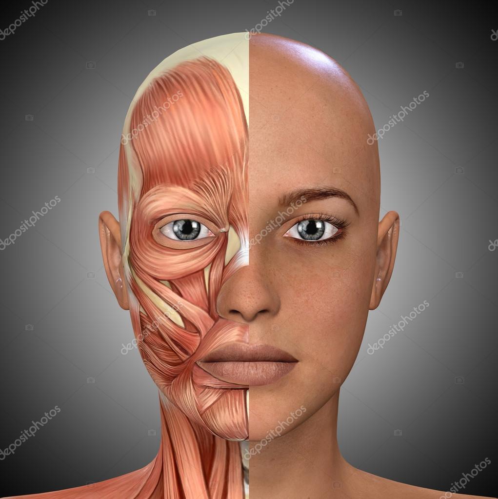 Weibliches Gesicht Muskeln Anatomie — Stockfoto © illustrart #104451948