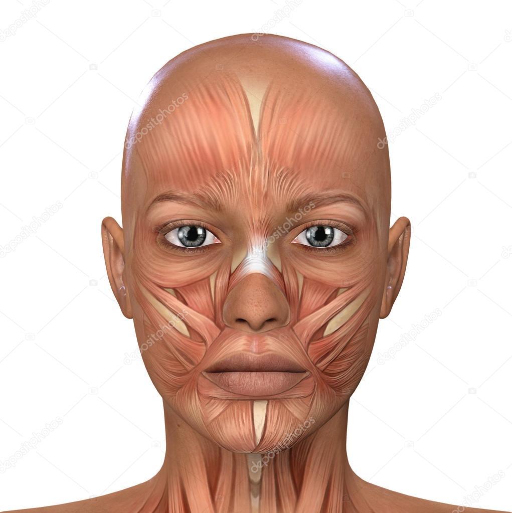 Female Face Muscles Anatomy — Stock Photo © illustrart #104452030