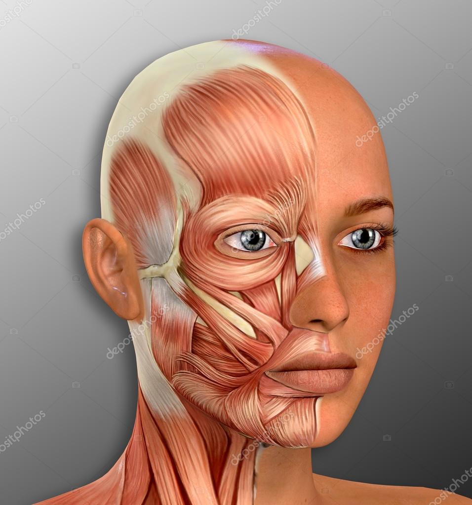 Weibliches Gesicht Muskeln Anatomie — Stockfoto © DeryaDraws #104454038