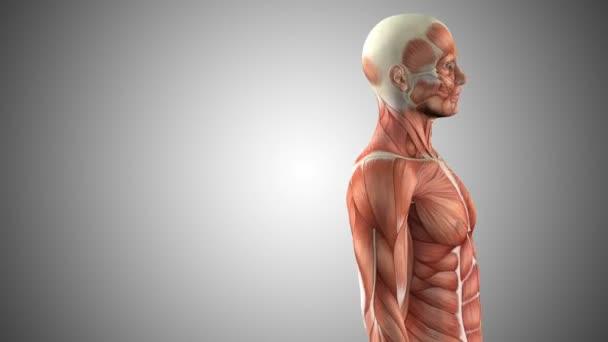 Anatomía del cuerpo masculino animado 3D — Vídeos de Stock ...