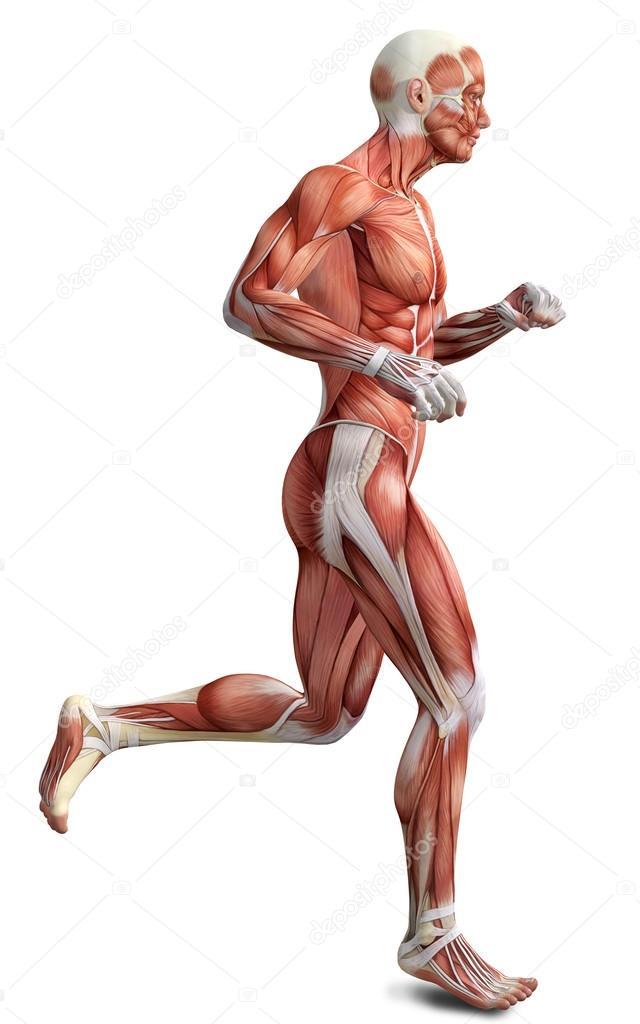 3D männlichen laufenden Körper Anatomie — Stockfoto © illustrart ...