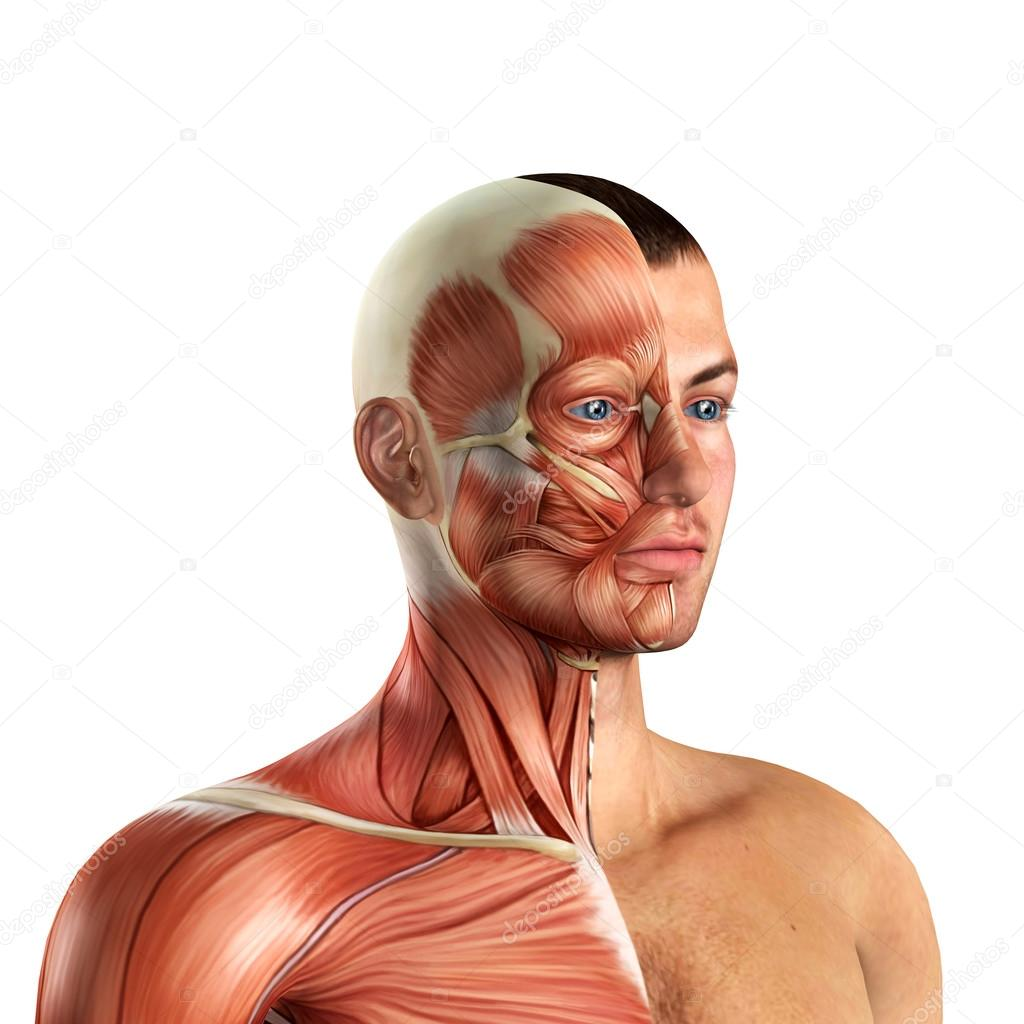 Anatomía de los músculos del rostro masculino — Fotos de Stock ...