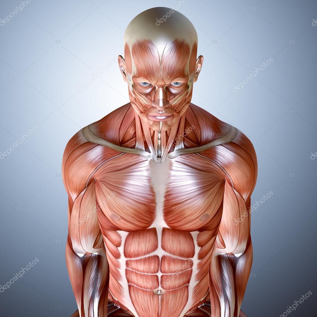 3D Render einen muskulösen männlichen Anatomie — Stockfoto ...