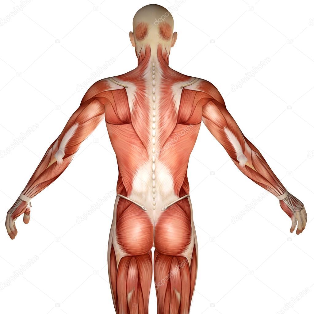 tronco de anatomia humana 3D músculos traseiros — Stock Photo ...