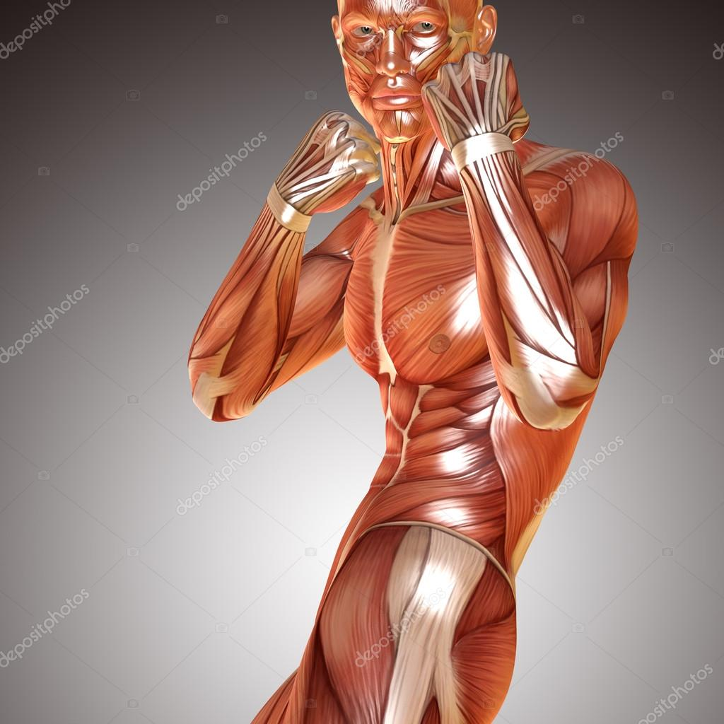 3d render of a male muscular anatomy in defence pose — Stock Photo ...