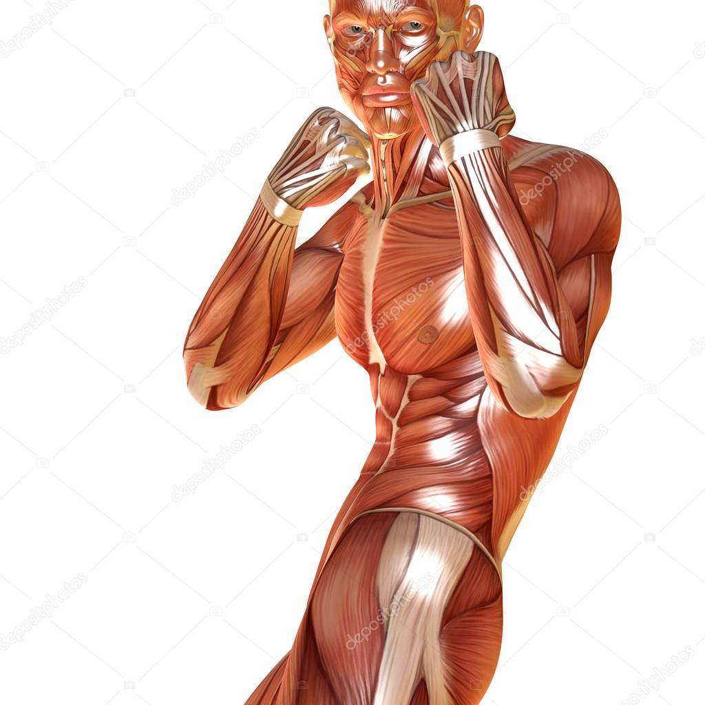 3d Render Of A Male Muscular Anatomy In Defence Pose Stock Photo