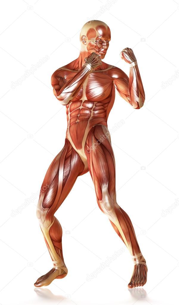 render 3D de una anatomía muscular masculina en pose de defensa ...