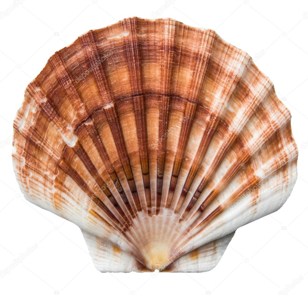 Isolated brown scallops shell stock photo mrdoomits 105012186 isolated brown scallops shell stock photo biocorpaavc Image collections