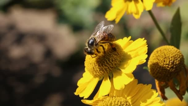 Včela sbírá pyl zblízka