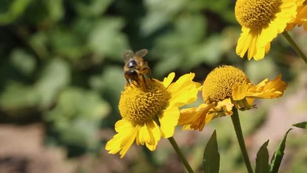 Bee pollen gyűjtése a virág