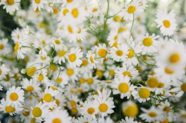 Wild chamomile on a meadow