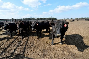 Young bulls of the Aberdeen-Angus breed is at a feedlot