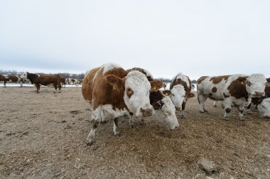 young bulls on a feedlot