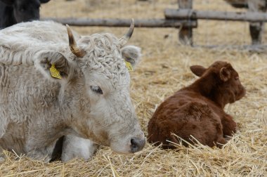 Cow with calf on a bed of hay