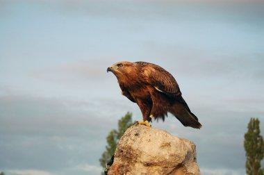 A Buzzard sitting on a rock