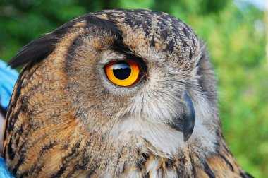 Eagle Owl portret