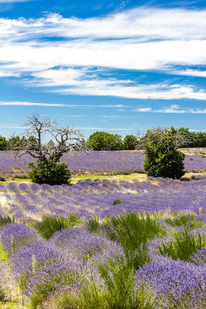 lavender field with trees, Provence