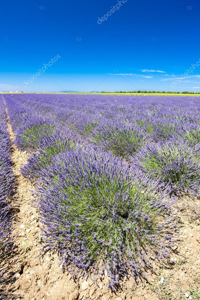 lavender field, Plateau de Valensole