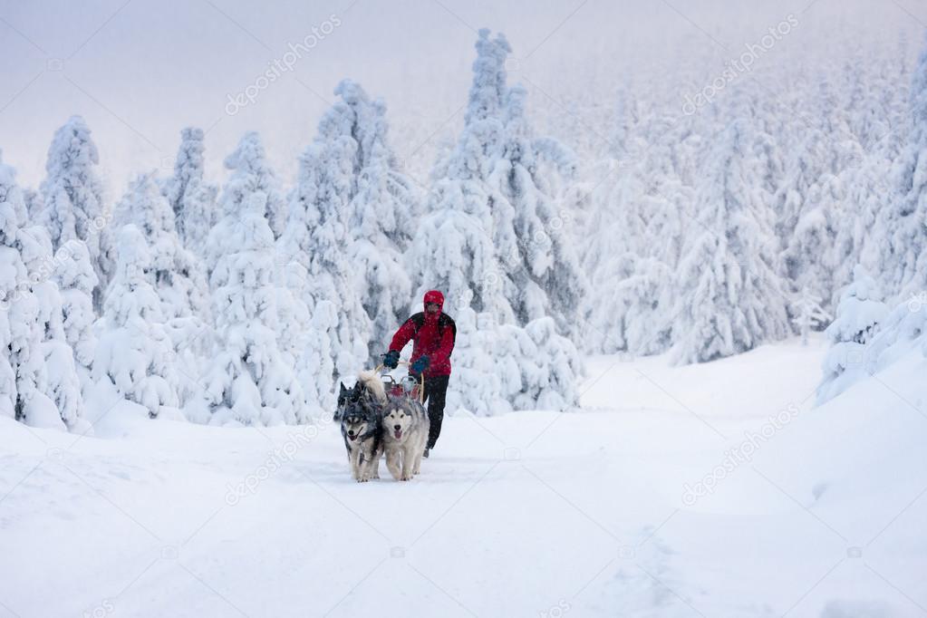 sledge dogging, Sedivacek's long