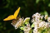 Stříbrem omytý motýl v přírodním prostředí, Národní park Slovenský ráj, Slovensko