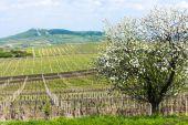 Fotografie jarní vinice, palava, Česká republika