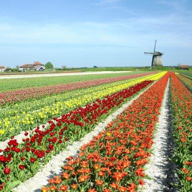 Windmill with tulip field near Schermerhorn