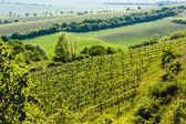 pohled na vinici Ječmeniště, Znojemsku, Česká republika