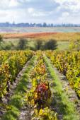 Fotografie vinic Beaujolais, Rhone-Alpes, Francie
