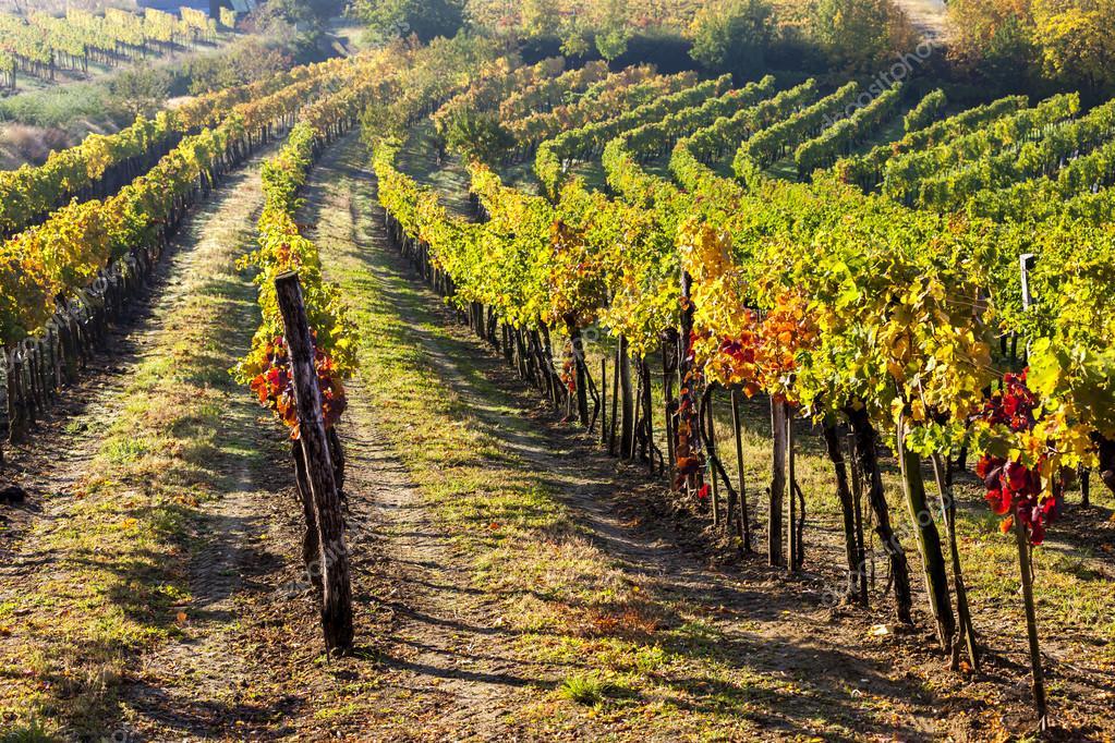 view of autumnal vineyards, Lower Austria