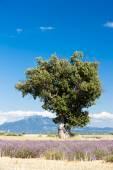 Fotografie levandulové pole strom, Plateau de Valensole, Provence
