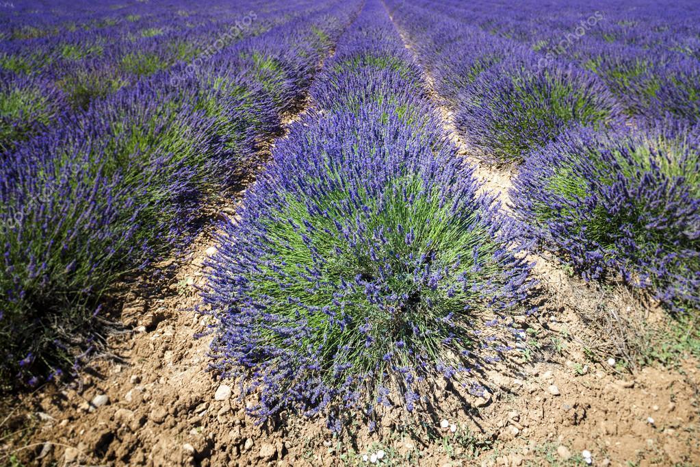 lavender field, Plateau de Valensole, Provence