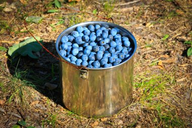 Sloe in steel pan