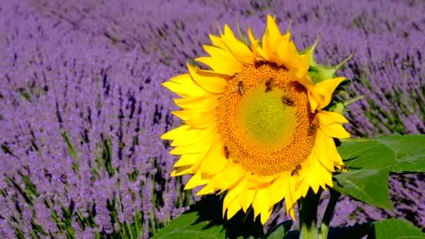 Včely opylují slunečnice v poli levandule
