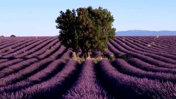 Levendula mező-fennsík Valensole