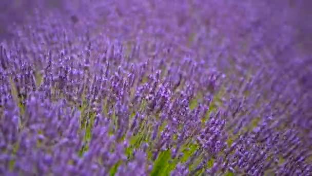 Blühender Lavendel in einem Feld