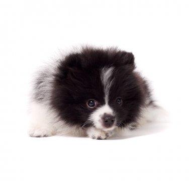 Cute spitz puppy