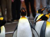 Fotografia Re pinguino