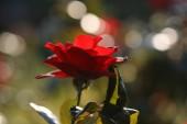 Růže květ venkovní