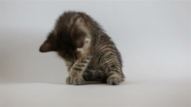 Small grey kitten washes