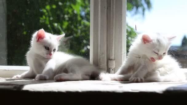 drei kleine weiße Kätzchen waschen
