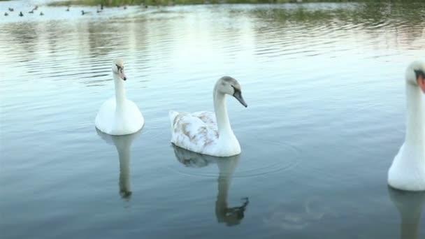 Bílé labutě na jezero Zpomalený pohyb
