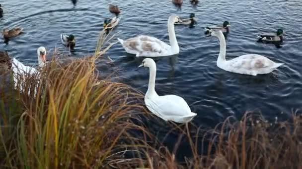 Weiße Schwäne und Enten Zeitlupe