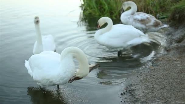 Bílá Labuť čisté jeho peří