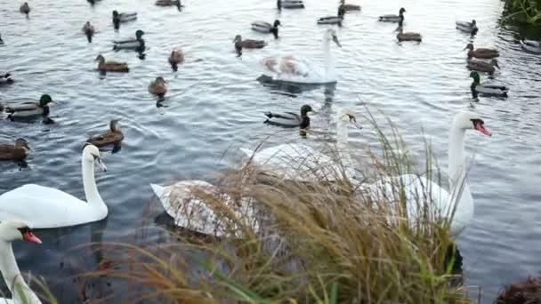 Fehér hattyúk és kacsák lassú mozgás