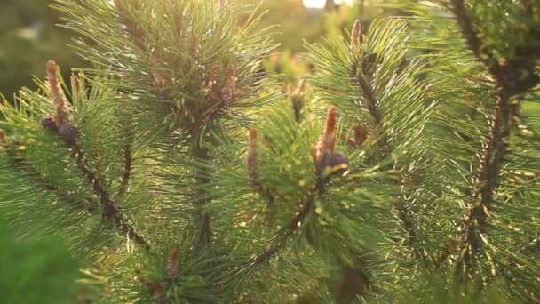 young sprout of spruce