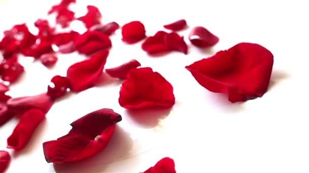 vörös rózsa szirmok fehér háttér