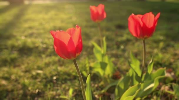 krásné tulipány zblízka