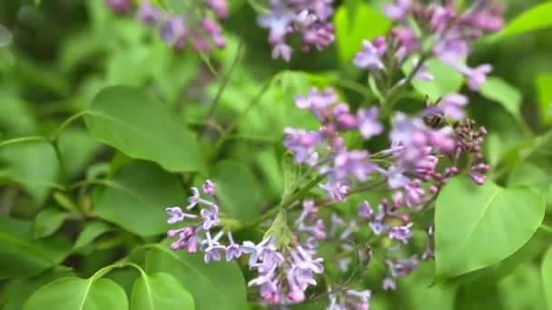 větev s jarní Lila květy
