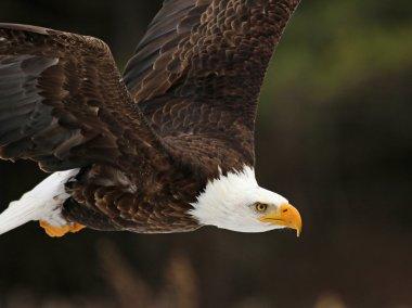 """Картина, постер, плакат, фотообои """"лысый орел в полете крупным планом """", артикул 72977363"""
